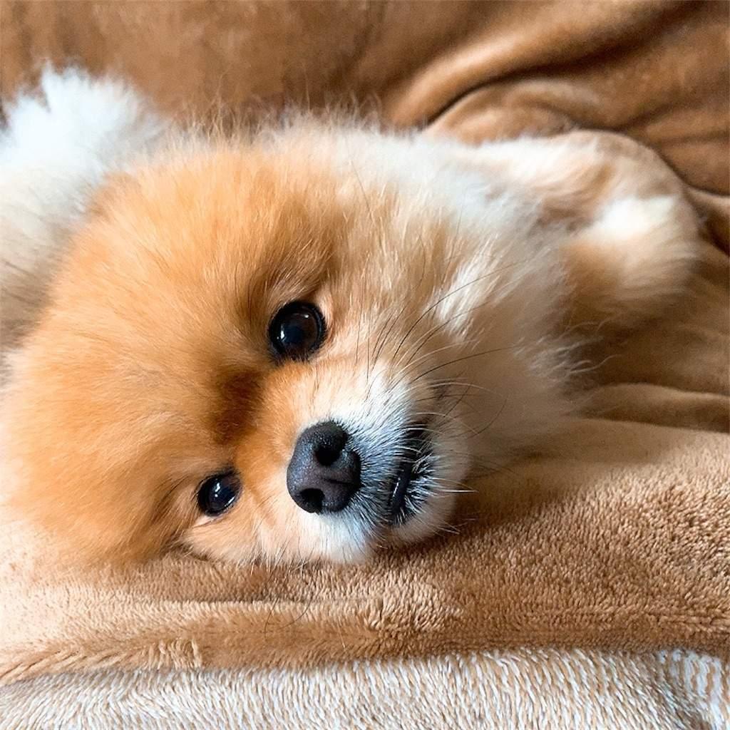 ポメラニアン 犬 可愛い 上目遣い 眠そう