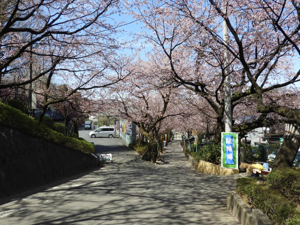 見頃となっていた安行桜