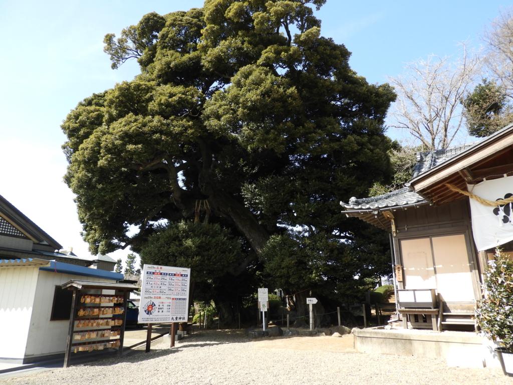 ご神木のスダジイの大木