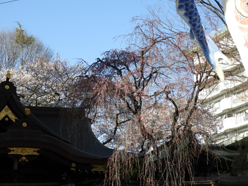 枝垂桜と鯉のぼり