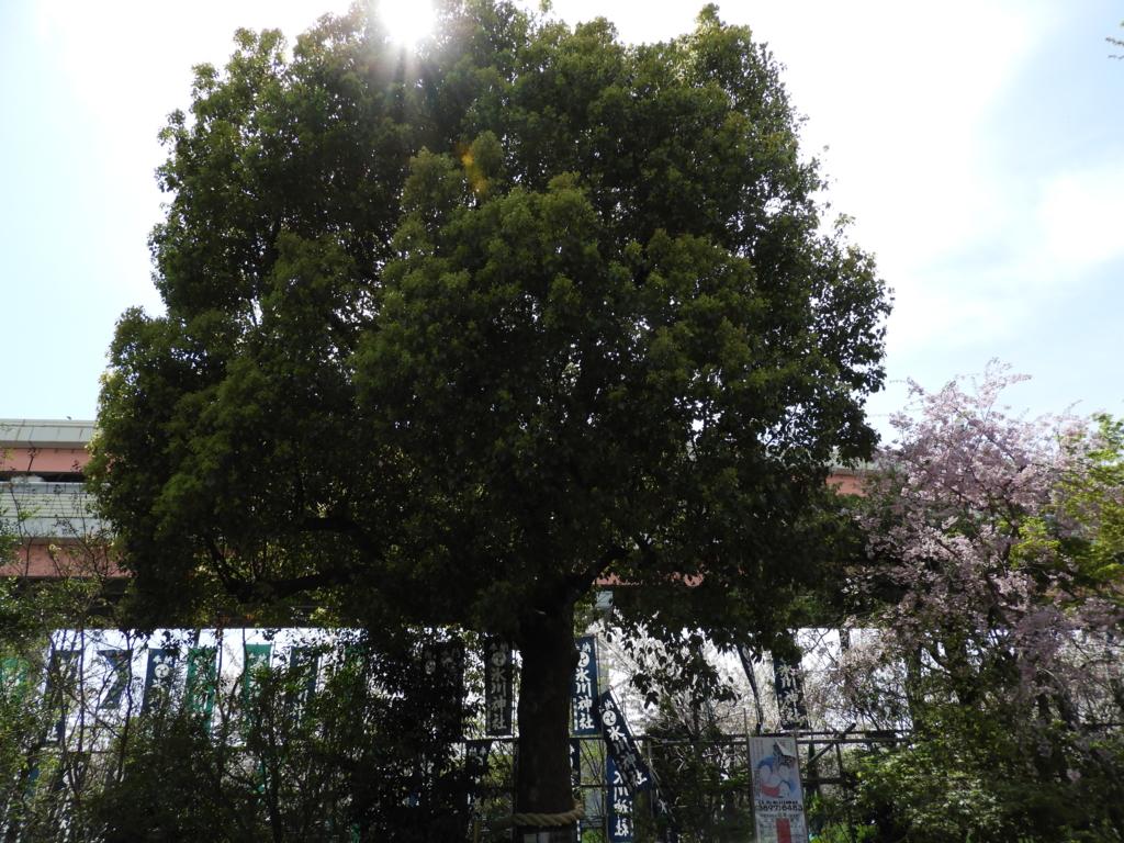 保存樹木であるくすのき