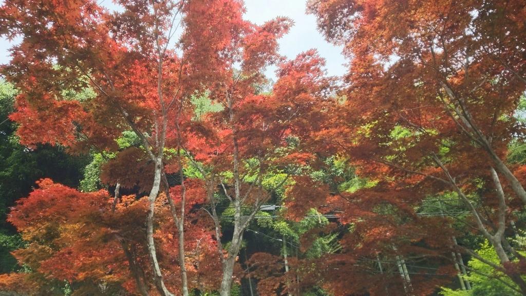 初夏に色づく紅葉