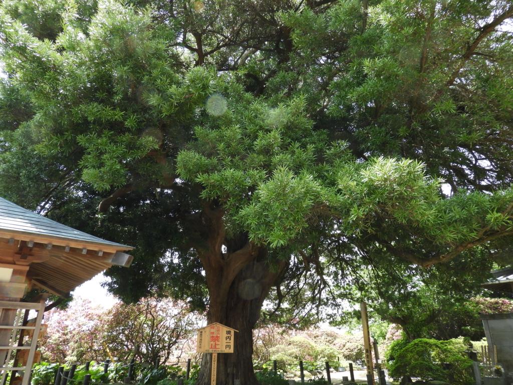 安養院の槇の木