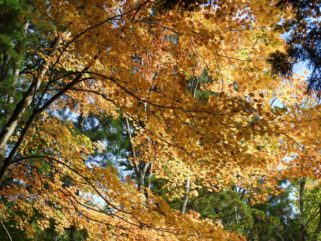 戸隠神社火之御子社周辺の黄色に染まった紅葉