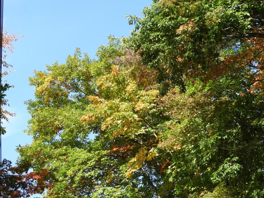 戸隠神社火之御子社周辺の緑から色付き始めたばかりの紅葉