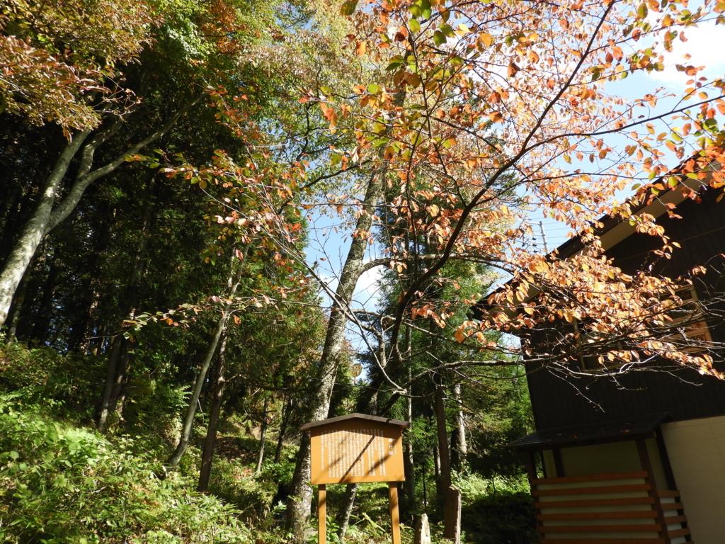 敷地内に植えられている西行桜。葉が紅く色づいている。