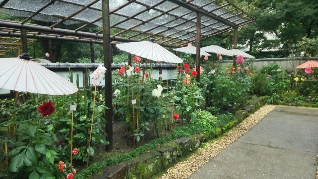 ぼたん苑の見頃のダリア。大人の顔の位置くらいの高さに色とりどりの花を咲かせている。それぞれの花には傘がかかっている
