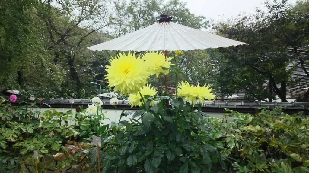 ぼたん苑の黄色い花を咲かせたダリア。すぐ上に傘がかけられている。