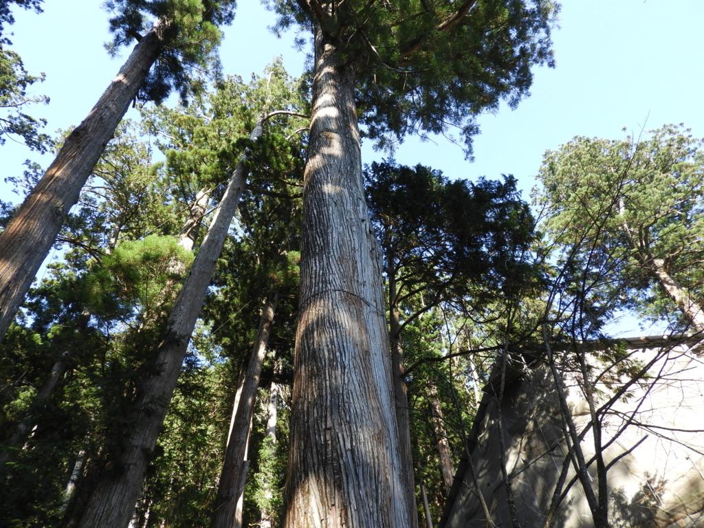 樹齢約700年、太さ約6.35m、高さ約60mの御神木