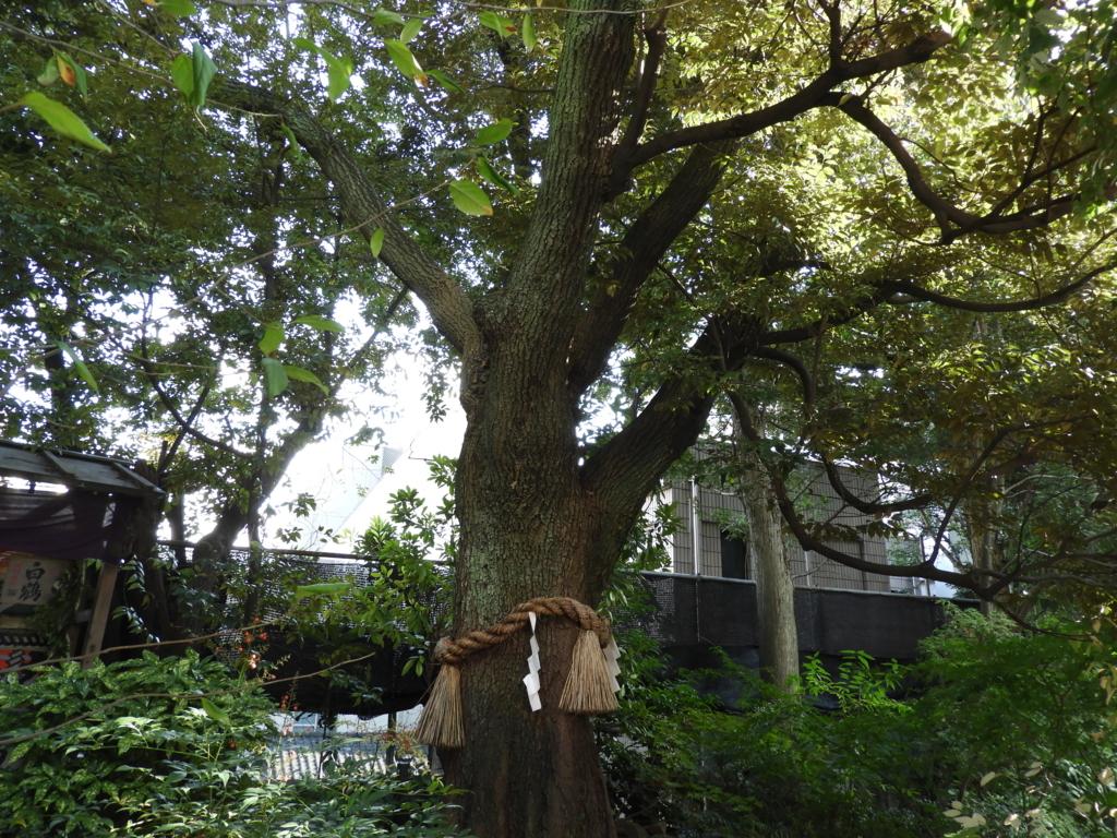 東京大神宮の緑地の中に立つ東京大神宮のご神木