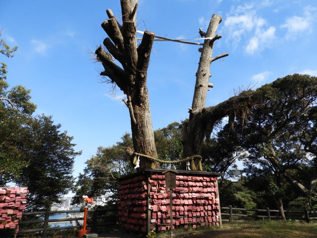 江島神社の御神木「むすびの樹」