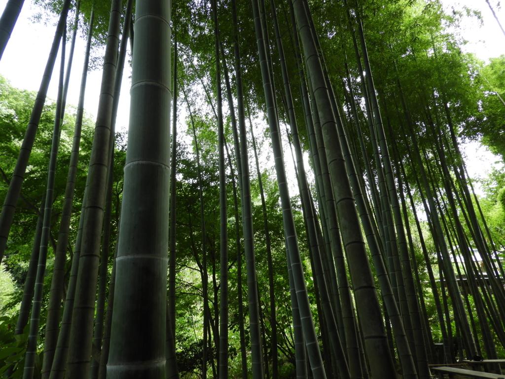表参道から少しずれた明月院の美しい竹林