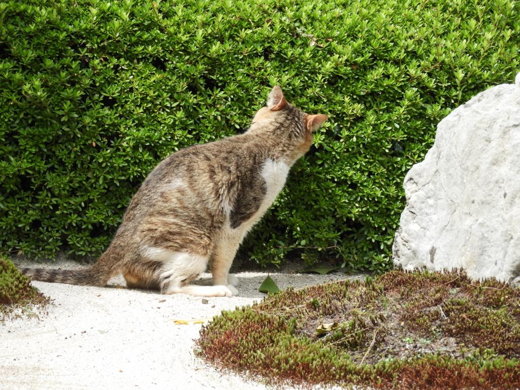 明月院の枯山水庭園で日向ぼっこをしている老猫