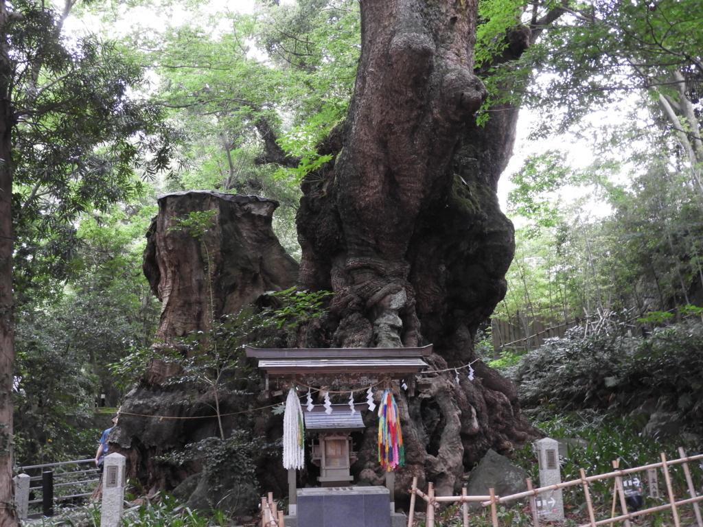 国指定天然記念物の大楠