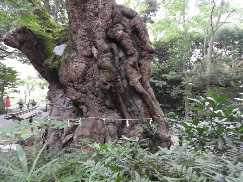 本州最大の大楠