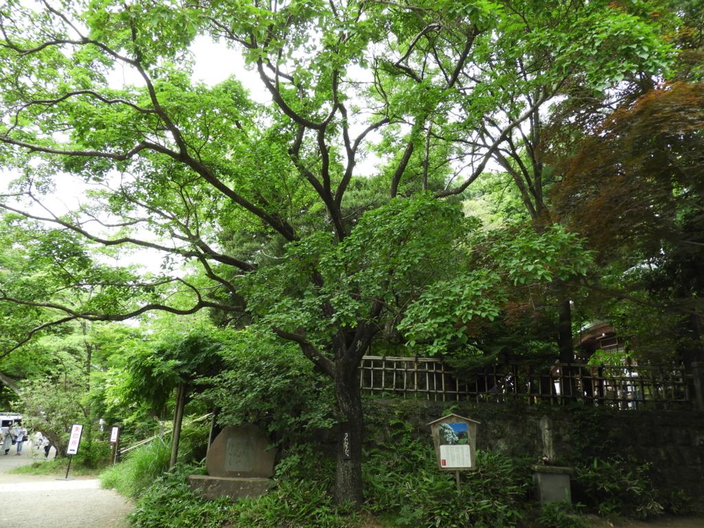 毎年ゴールデンウィークに満開になる深大寺のなんじゃもんじゃの木