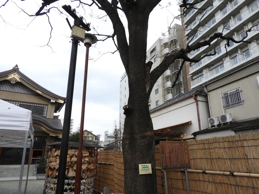 浅草神社の御神木の「槐」
