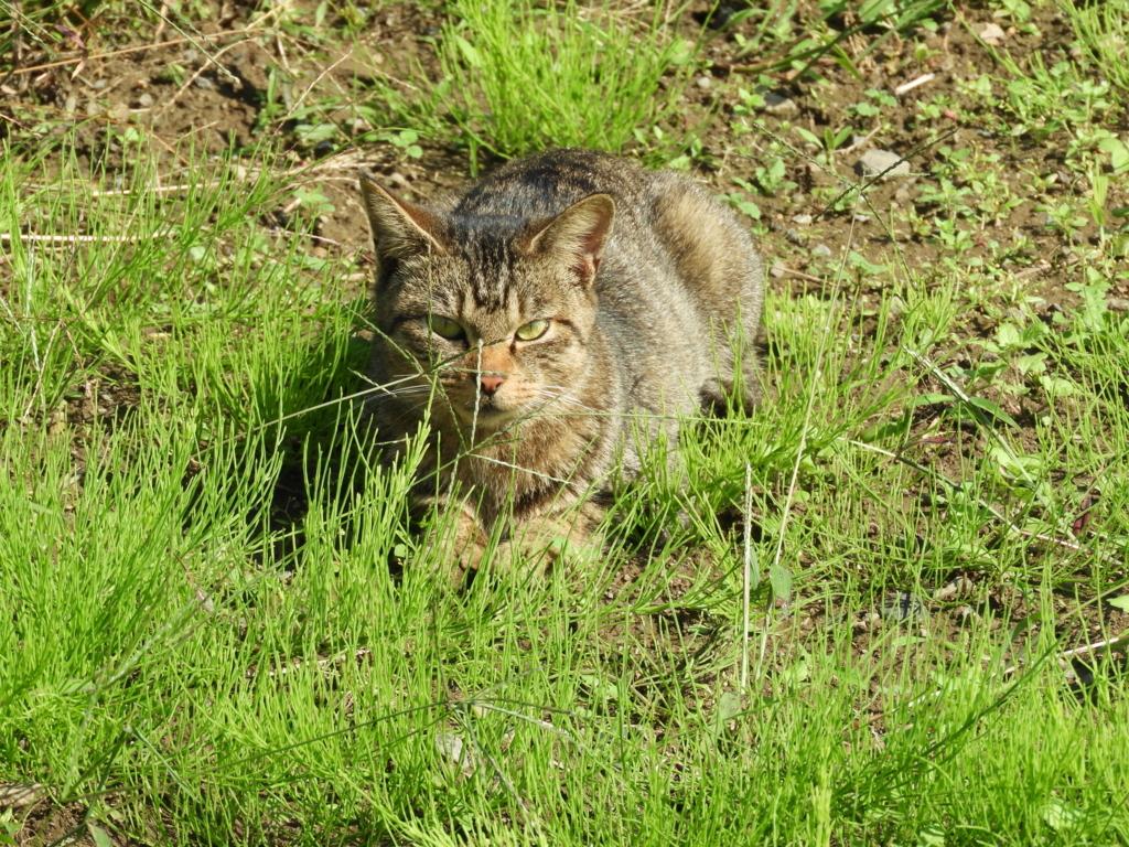 高麗神社周辺で日向ぼっこしていた猫