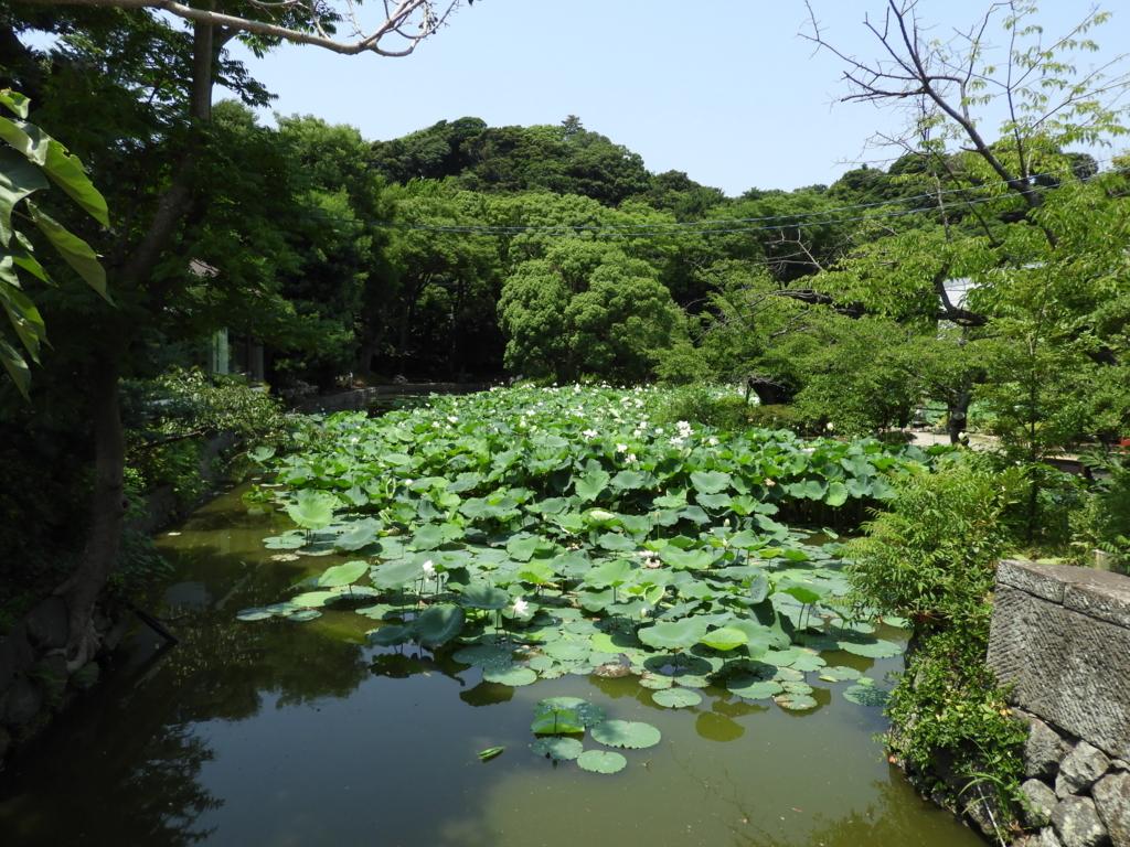 かつては紅ハスが植えられた鶴岡八幡宮の平家池
