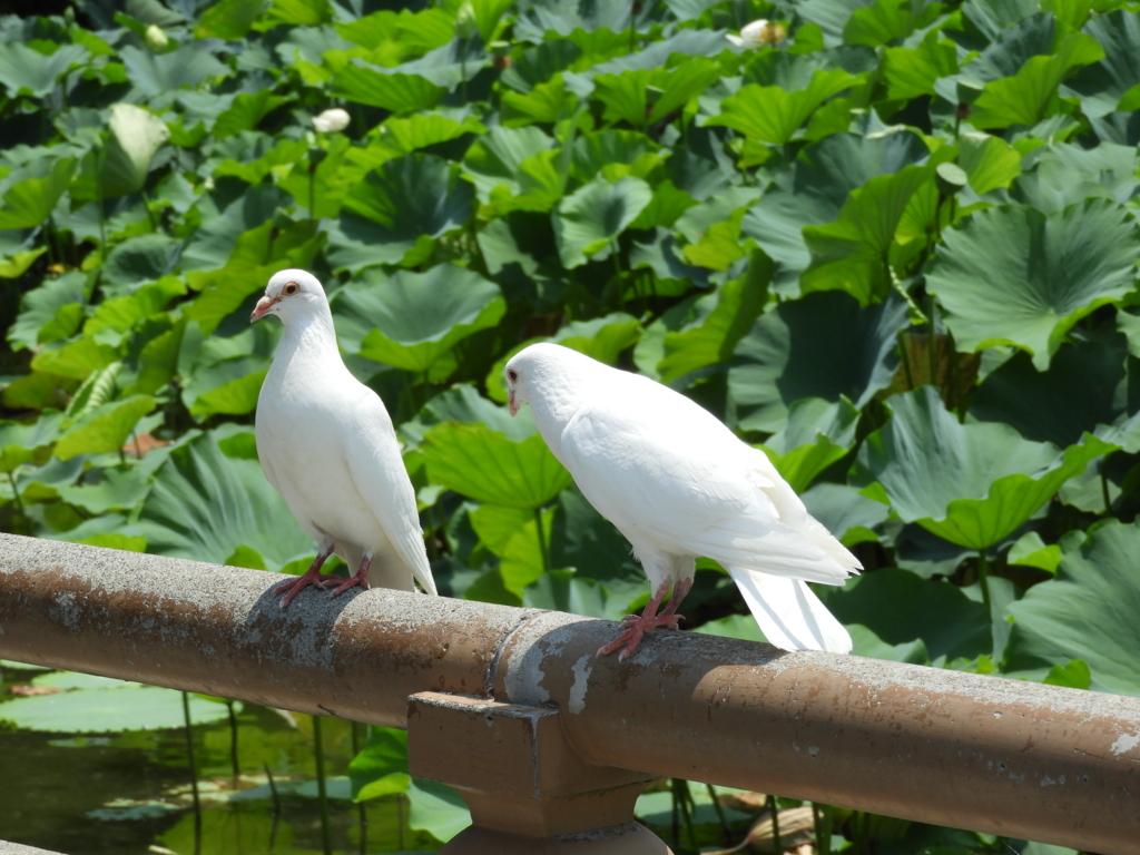 鶴岡八幡宮の源氏池に何羽もいた白い鳩