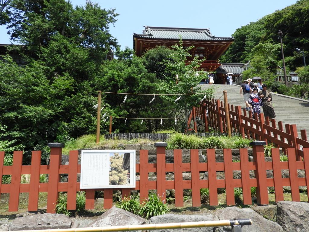 根元から倒れた鶴岡八幡宮の大銀杏