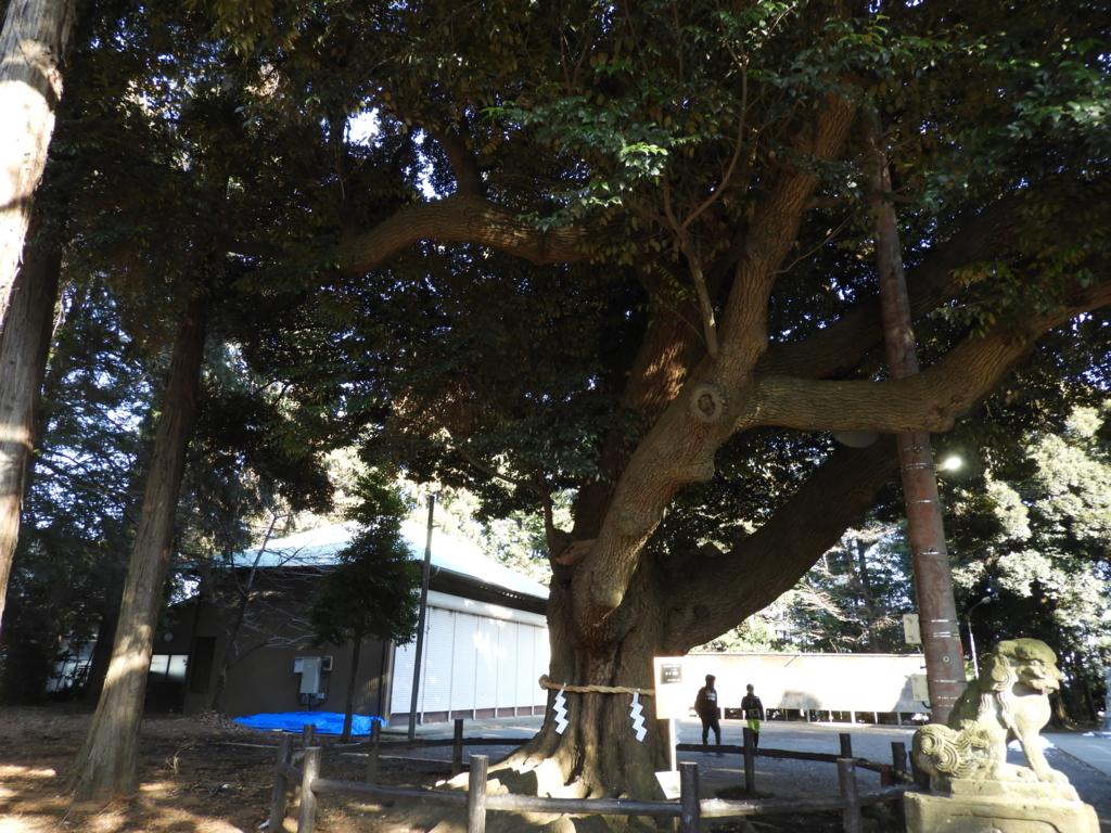 諏訪神社のスダジイ