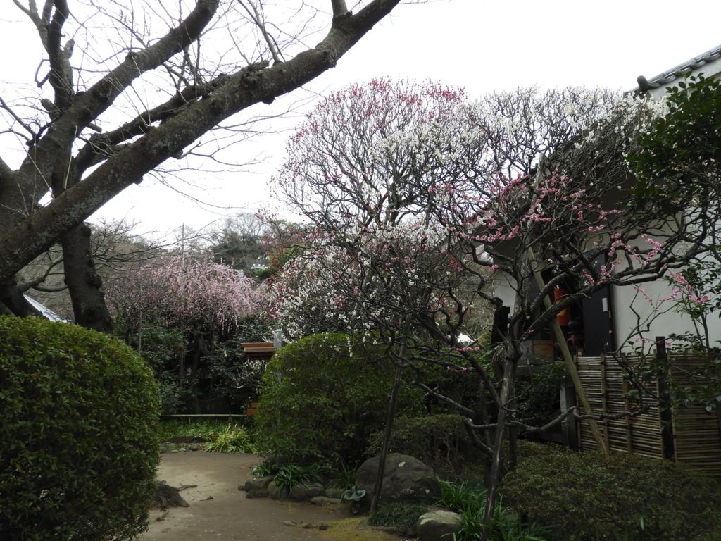 宝戒寺の境内に咲く梅