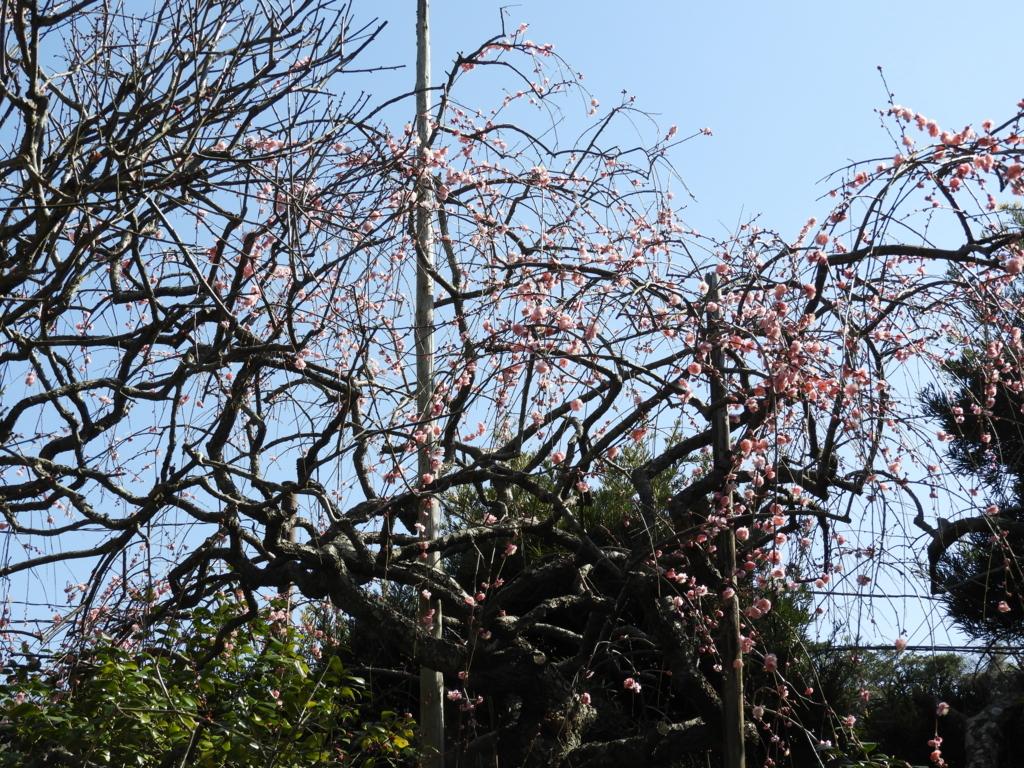 宝戒寺の梅の花