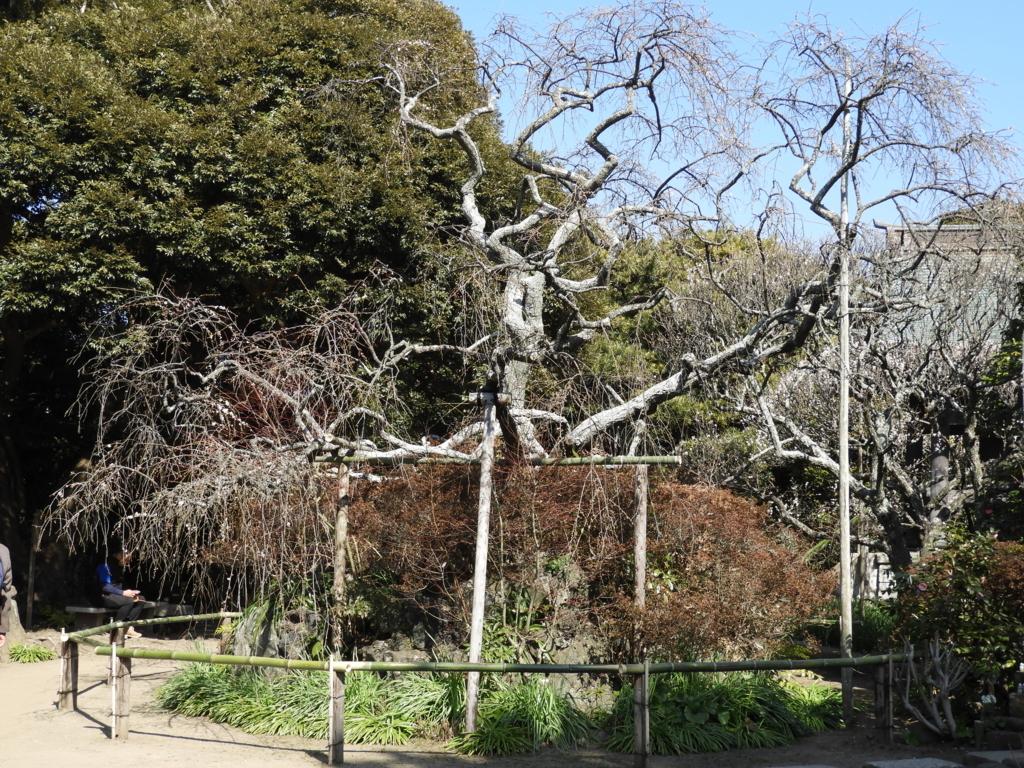 宝戒寺の枝垂れ梅