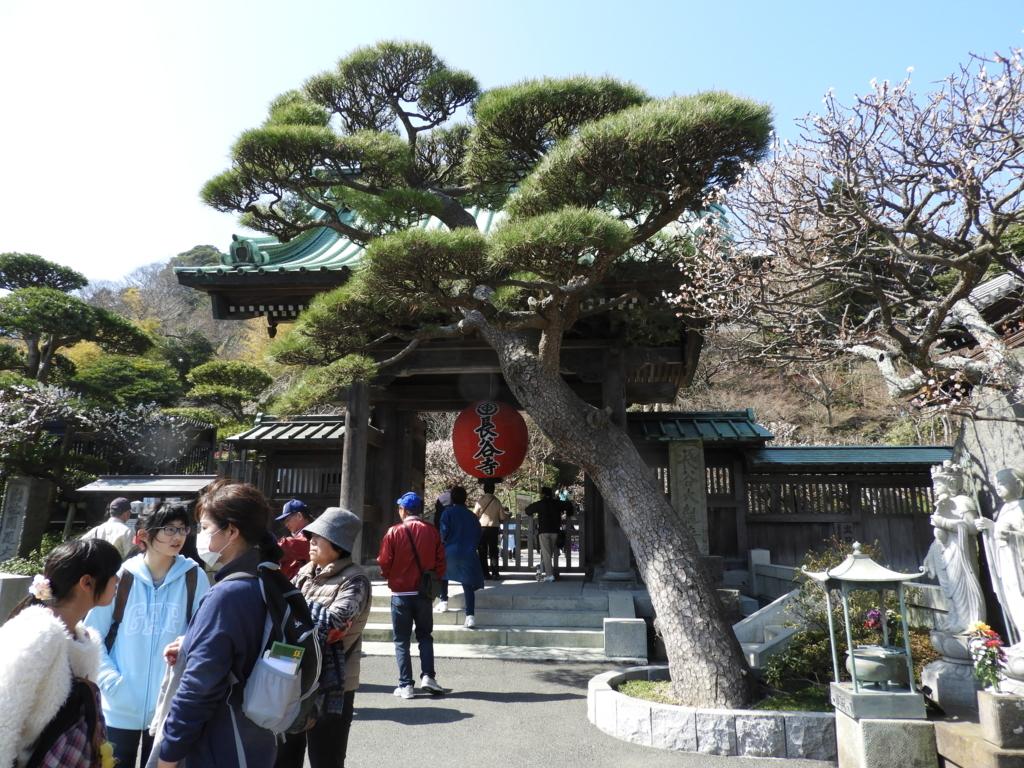 長谷寺の山門と「門かぶりの松」