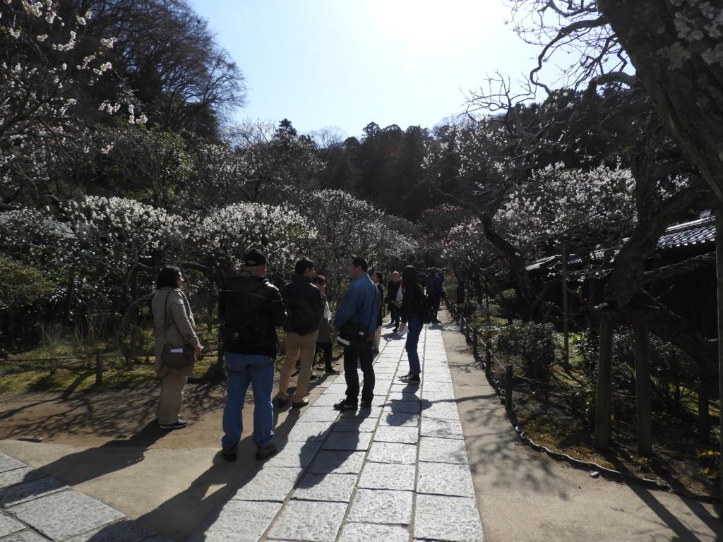 梅が見頃になった東慶寺の参道