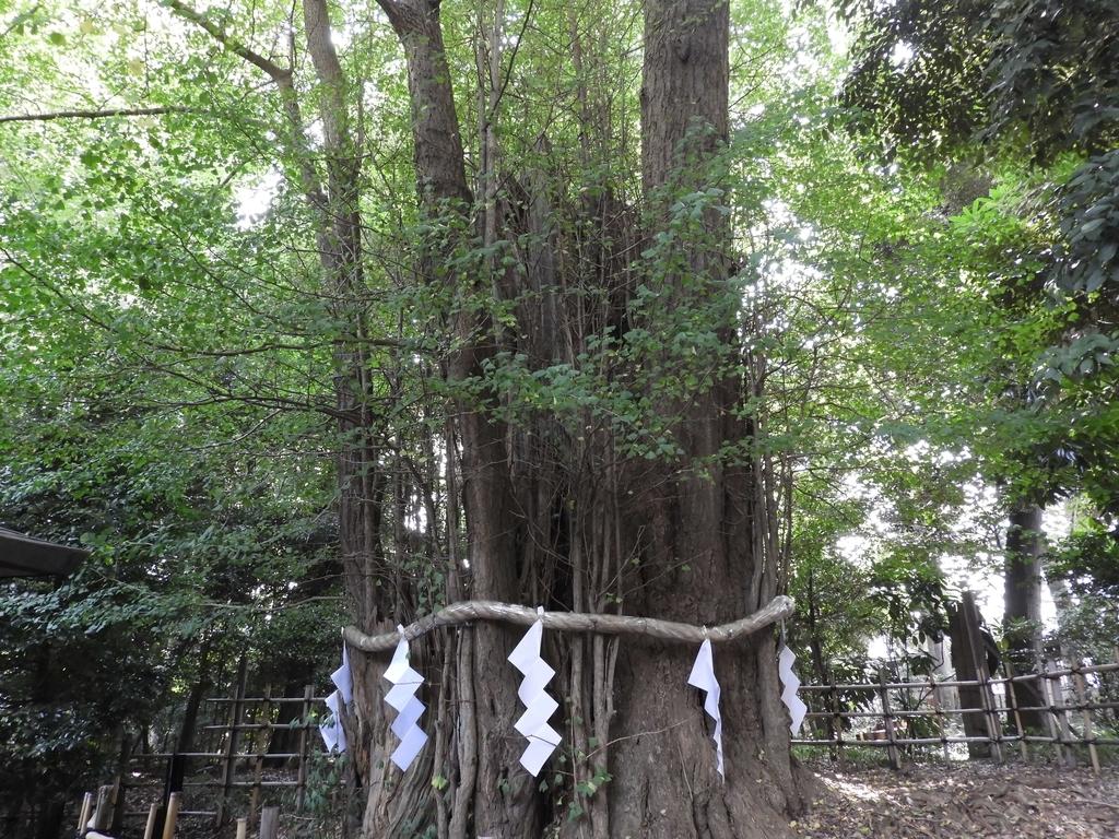 御神木の大銀杏