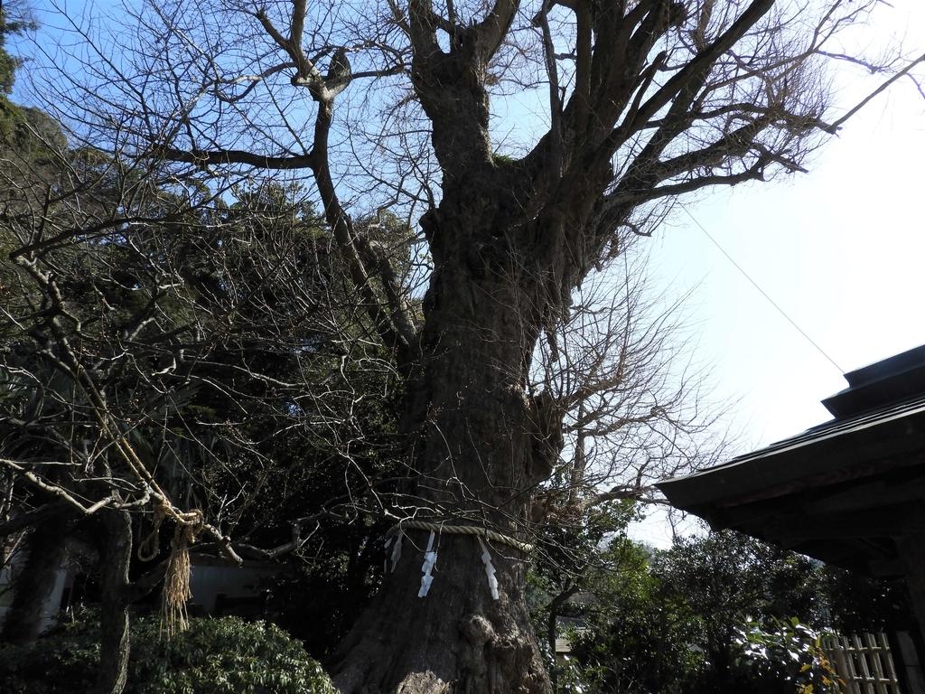 鎌倉最大の大銀杏