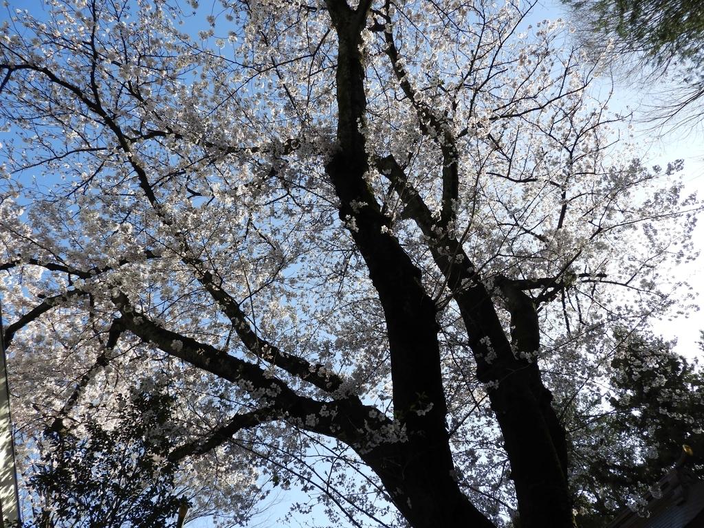 御神木の桜