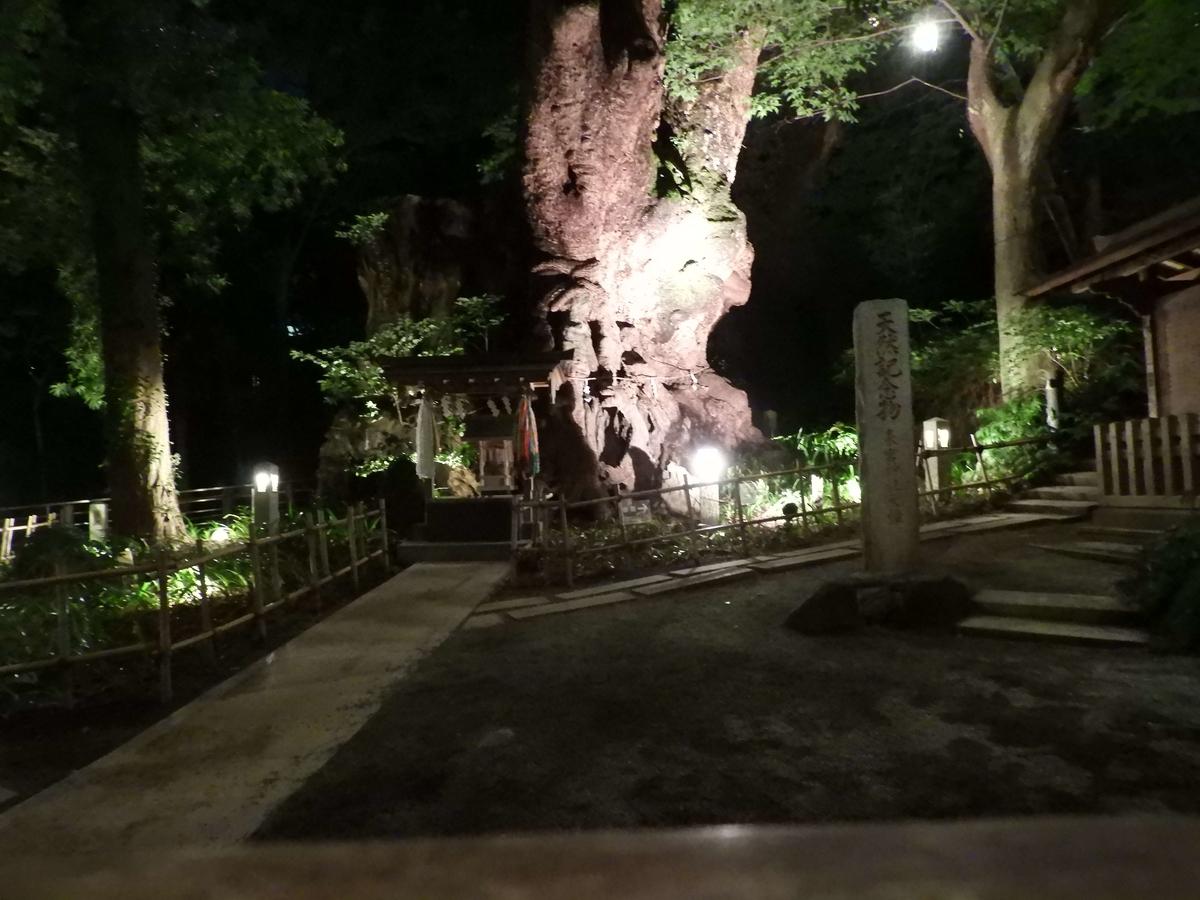 大楠のライトアップ