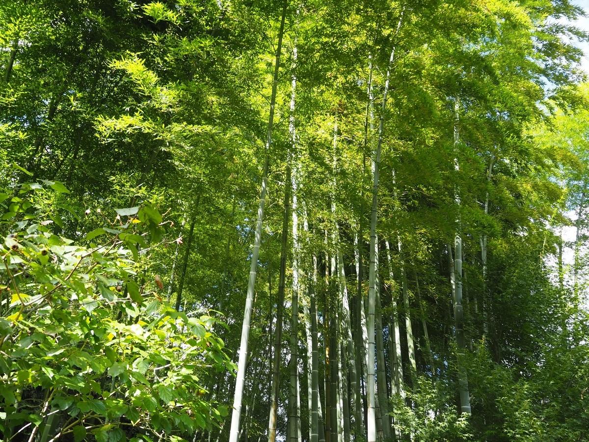 鎌倉でも屈指の美しさである明月院の竹林