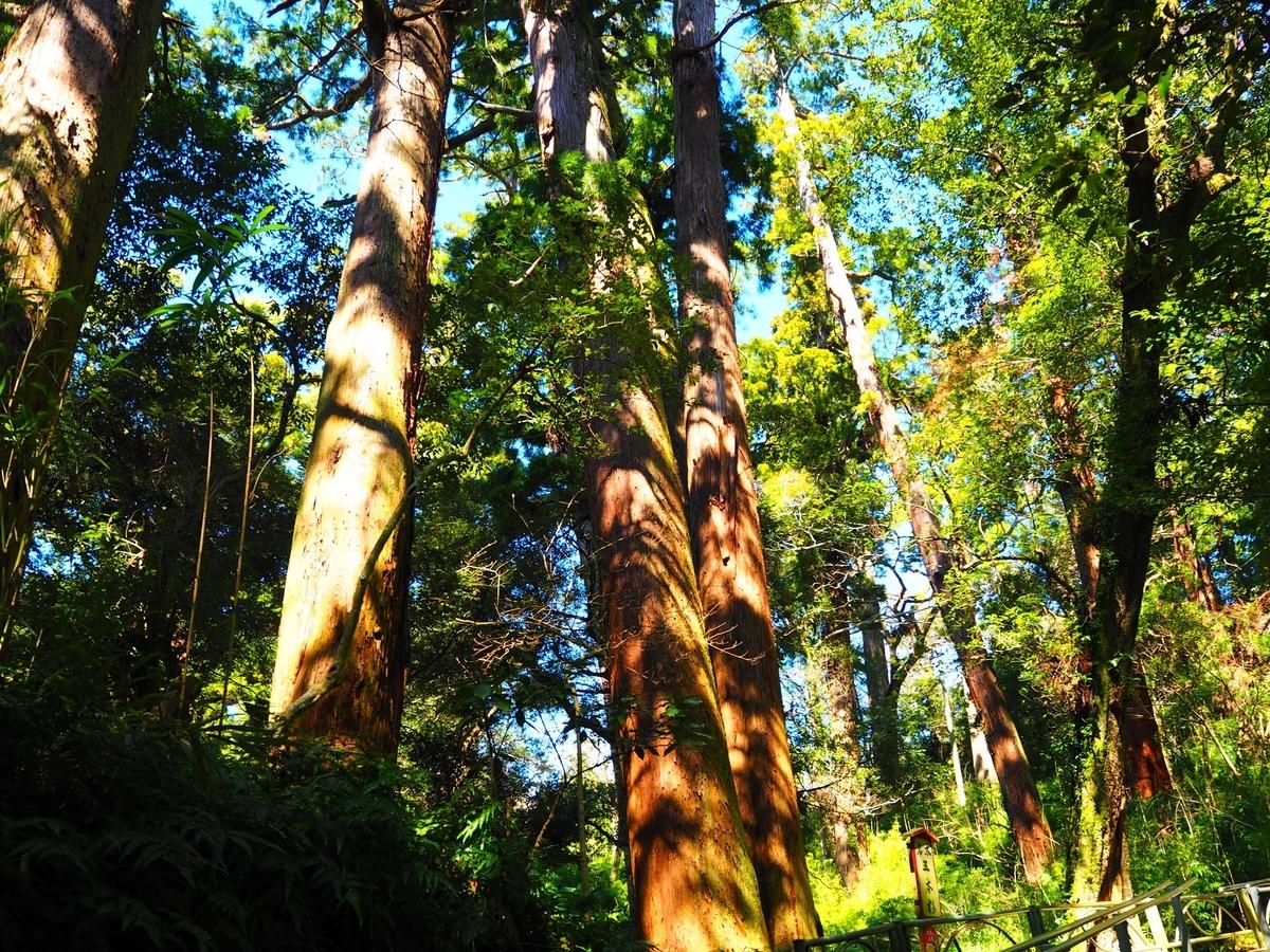 三本の杉が根元でつながっている三本杉