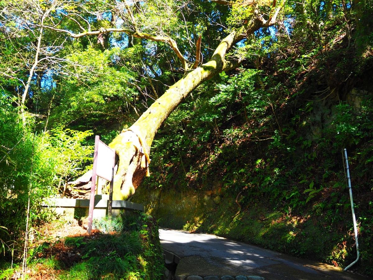 参道に向かって傾斜している霊木「子授楠」