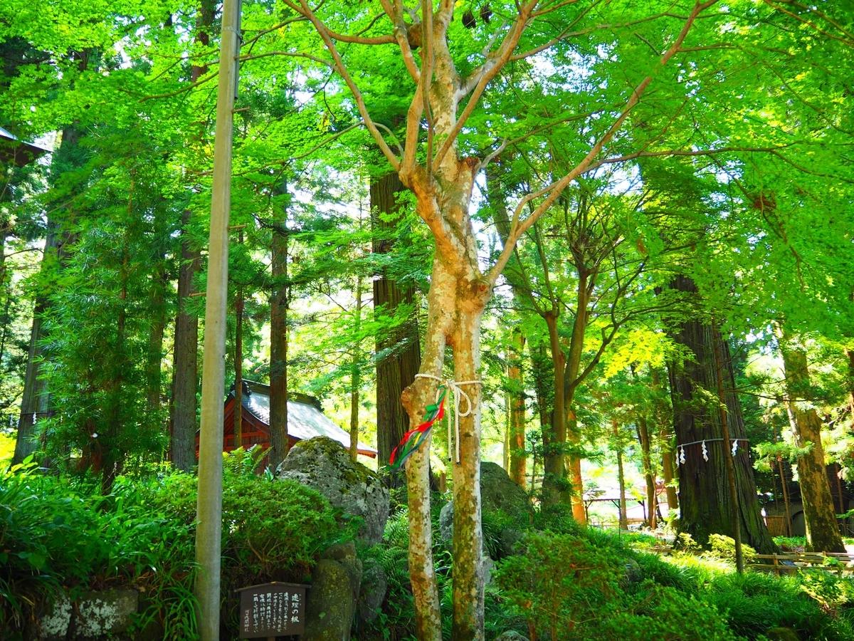 別々の木が重なって一つになった連理の楓