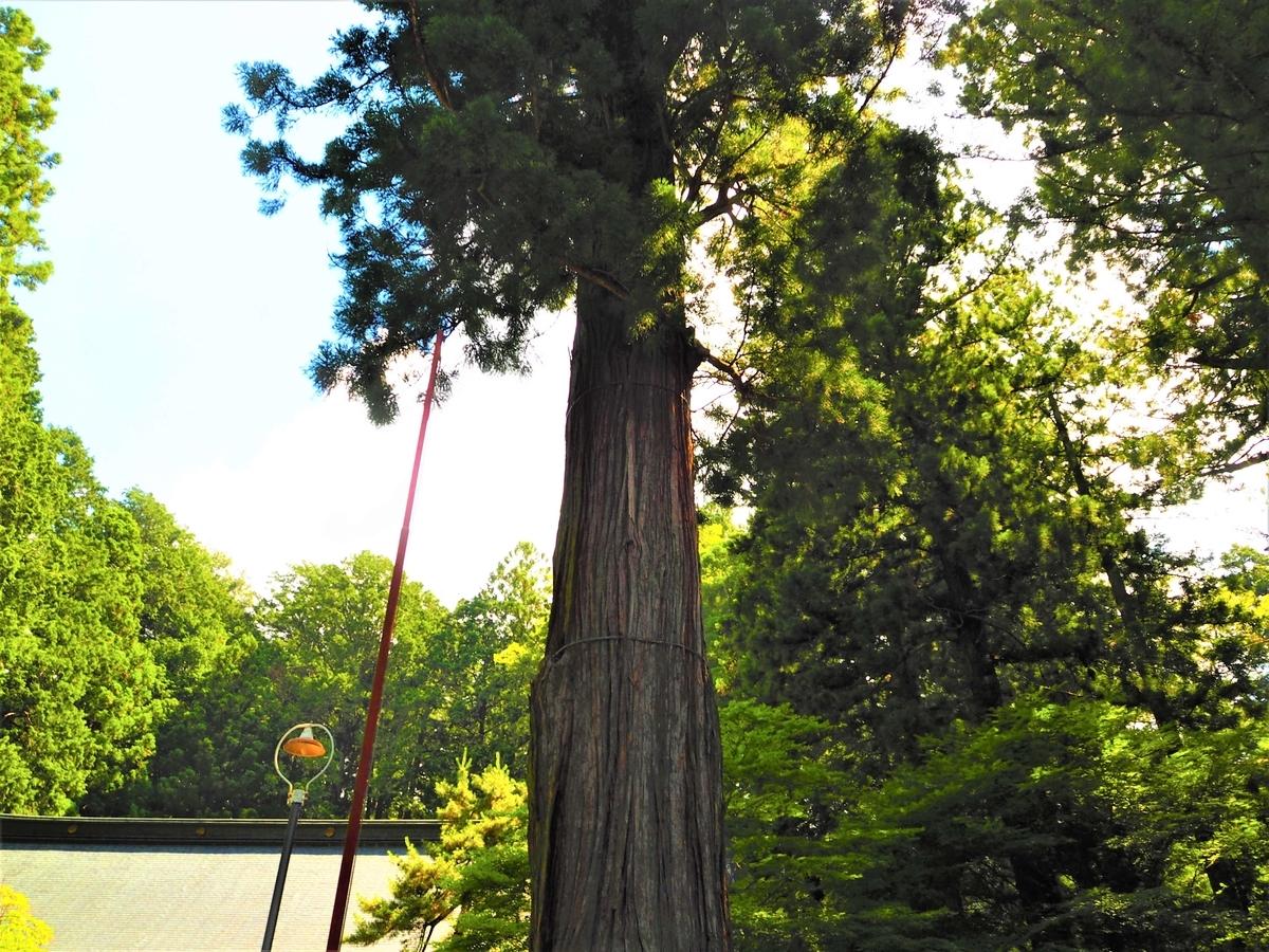 境内の1号杉