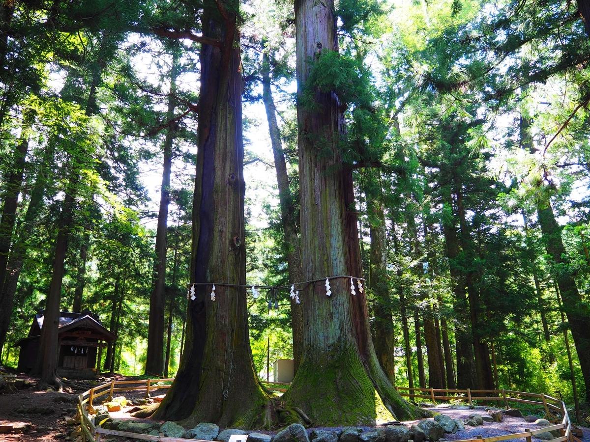 5号杉と6号杉
