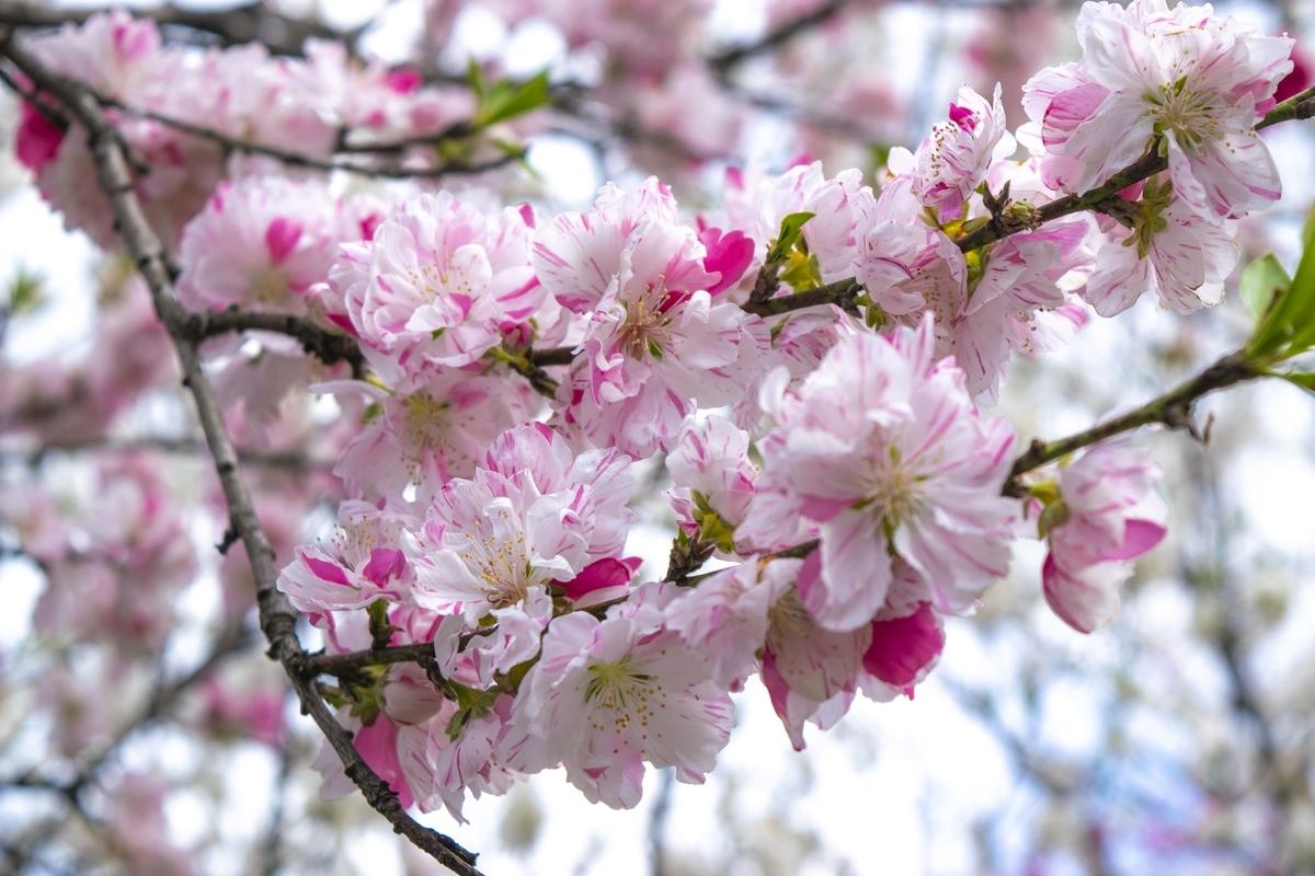 2色の花桃