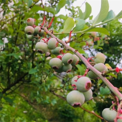 庭のブルーベリー
