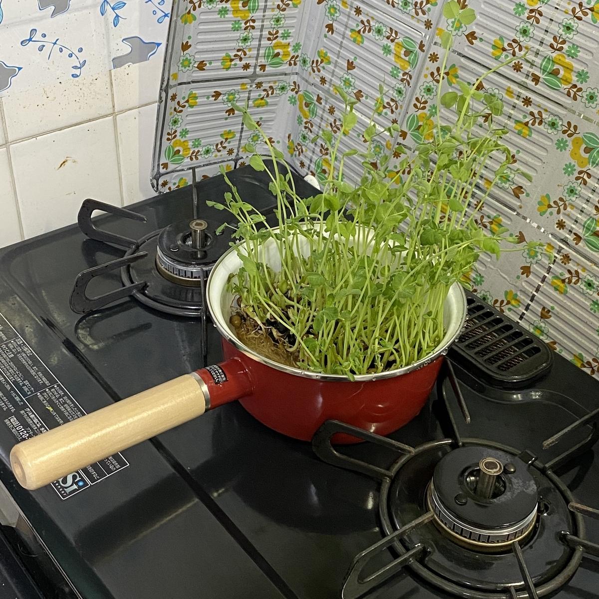 豆苗を栽培することに
