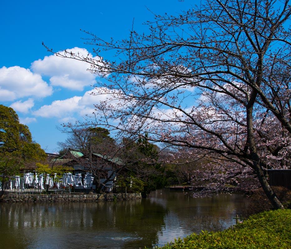 鶴岡八幡宮の牡丹園(神苑ぼたん庭園)が見頃