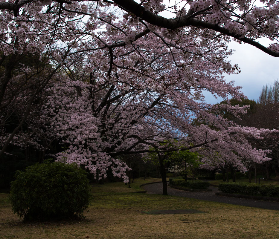 平塚市総合公園の桜