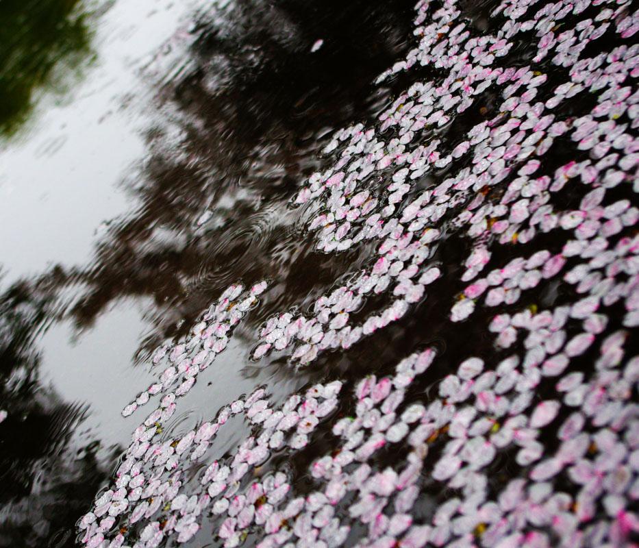 防塵防滴のPENTAXで雨の桜を撮る