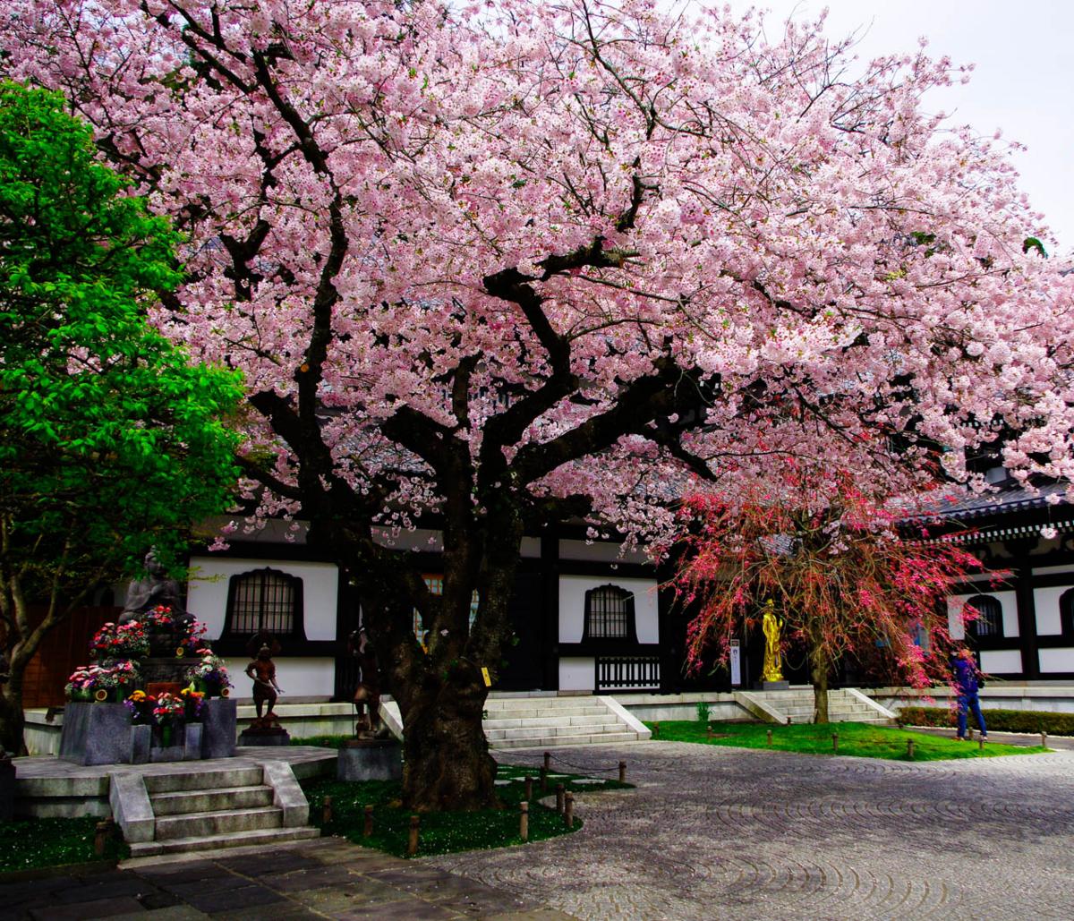 長谷寺と桜。桜の樹の下に桃色の空が広がる。満開でした。