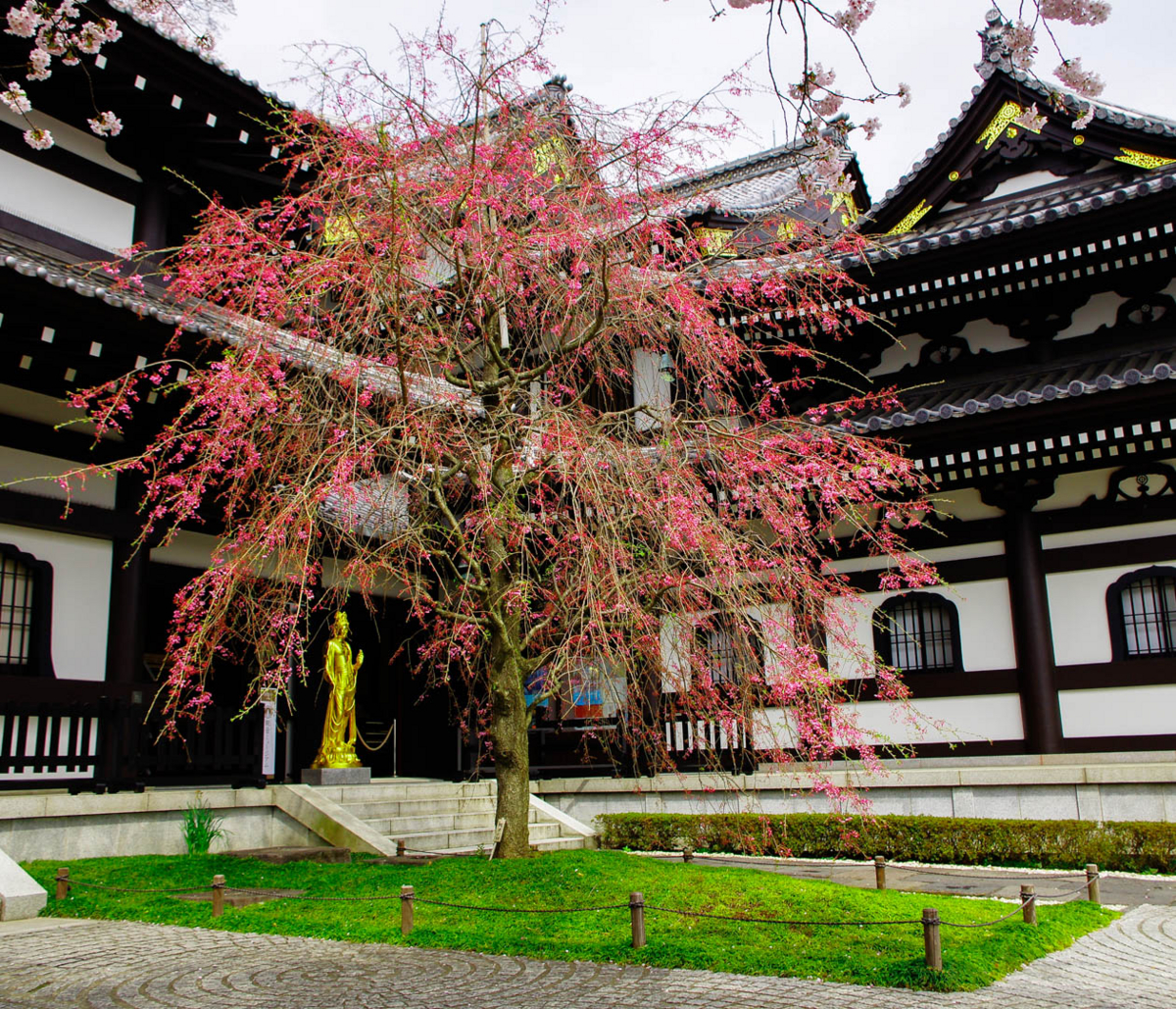 長谷寺と桜