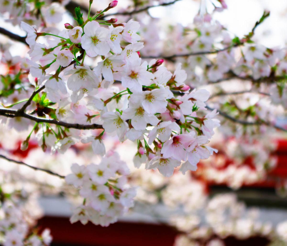 平塚市渋田川の桜